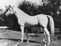*Nasr 1918 AHC 889 (Rabdan El Azrak x Bint Yamama)