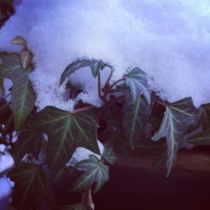 Sombre December 6th - geraniums wilting after growing all summer