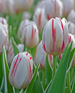 Candy Cane Tulip
