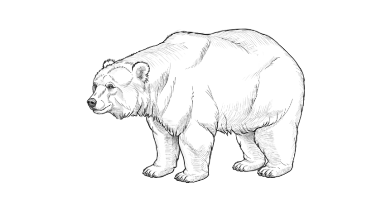 how to draw bear step by step