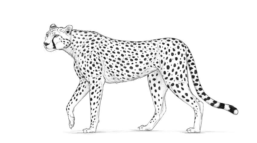Cheetah Body Diagram