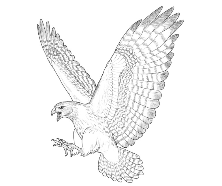 hawk how to draw