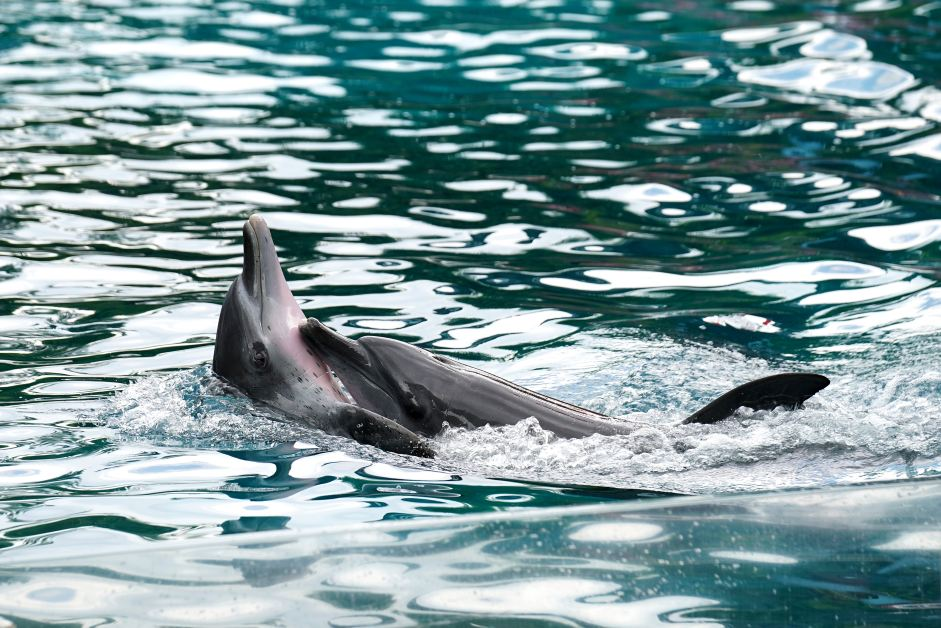 Animals and Language — Dolphins