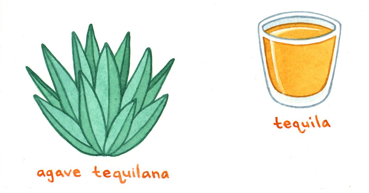 Cómo se toman el tequila y el mezcal