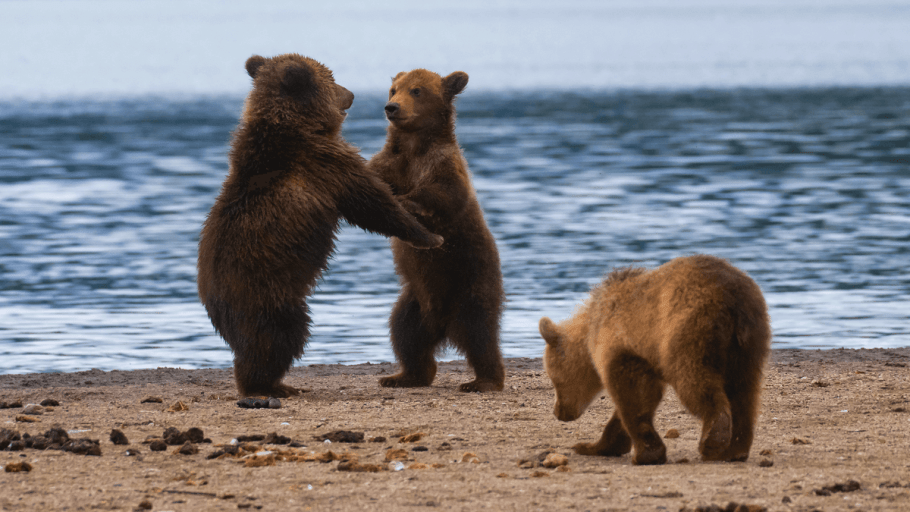 three bears together on a seashore to represent animals in russian
