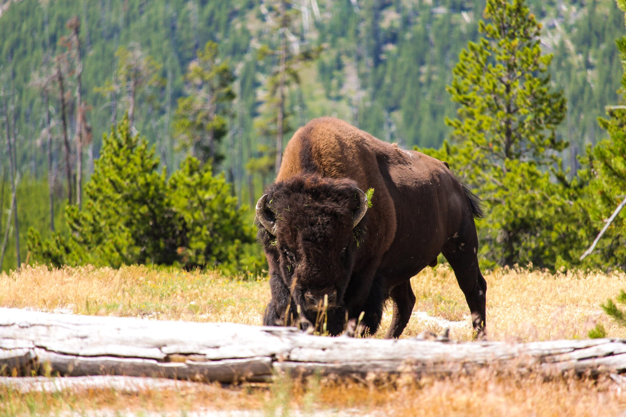A bison at Yellowstone National Park