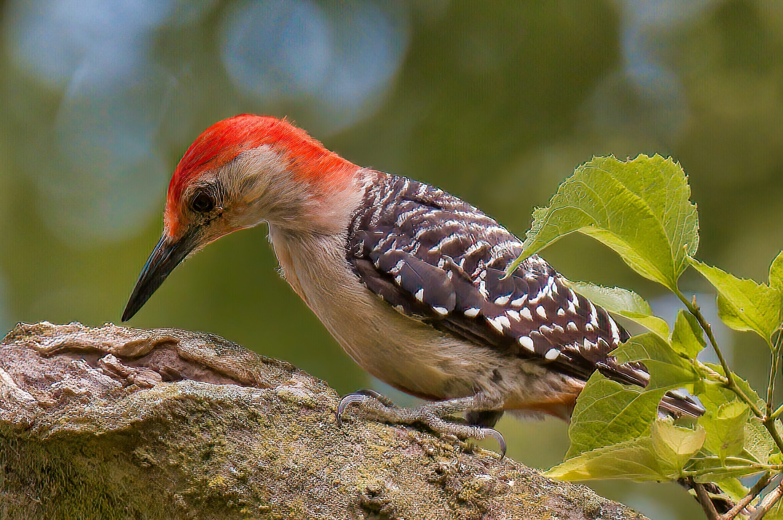 A red-bellied woodpecker sitting on a bough