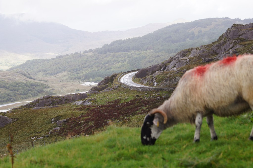 Ring of Kerry road with sheep in foreground