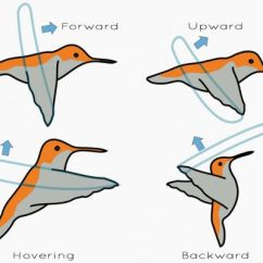 Hummingbird Diagram Of Color Pertronix Ignition Wiring Watch The Stunning Mid Air Acrobatics A In Wind Karta24 Via Ponderweasel Com