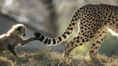 some cheetahs are terrible