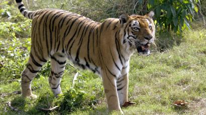 india s tiger population