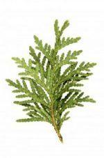 Cedar Branch Thumbnail