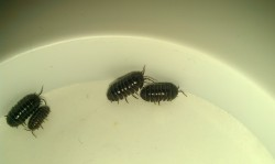 ROLY_POLYS_PILL_BUG_NAVY_SEALS