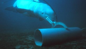 The US Navy's Deadly MK6 Attack Dolphin Program