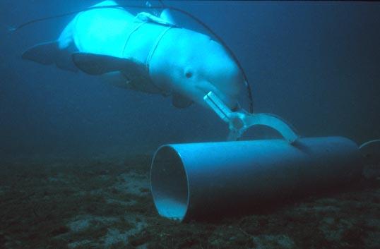 beluga-navy-attack-dolphin-sofrep