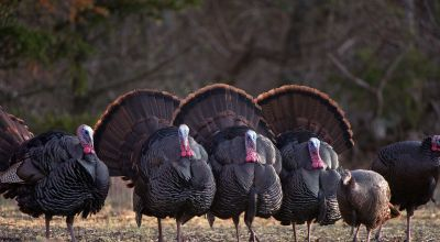 Turkey Hunting (Pt. 4): Shotguns, Chokes, and Shot