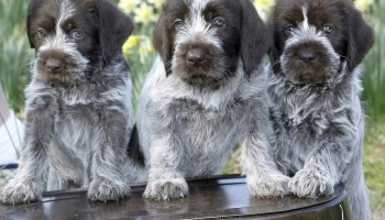 How To Select a Breeder For Your Hunting Dog