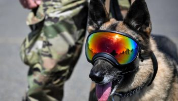 Military Working Dogs: More Than Just a Soldier's Best Friend