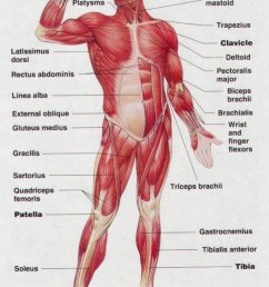 human body muscles diagram [ 853 x 1209 Pixel ]