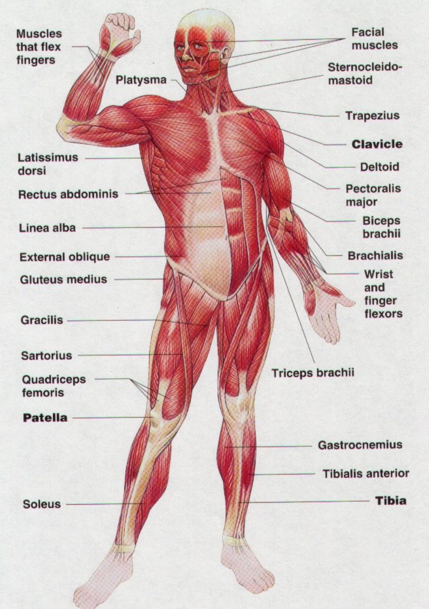 hight resolution of human body muscles diagram
