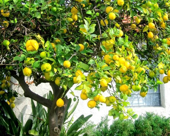 cliomakeup-limone-pelle-capelli-2-albero-limoni