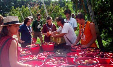 scout CNGEI e LIBERA - raccogliere la frutta