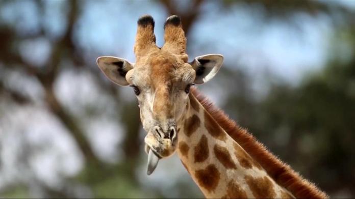 Chapultepec Zoo baby giraffe looking for name