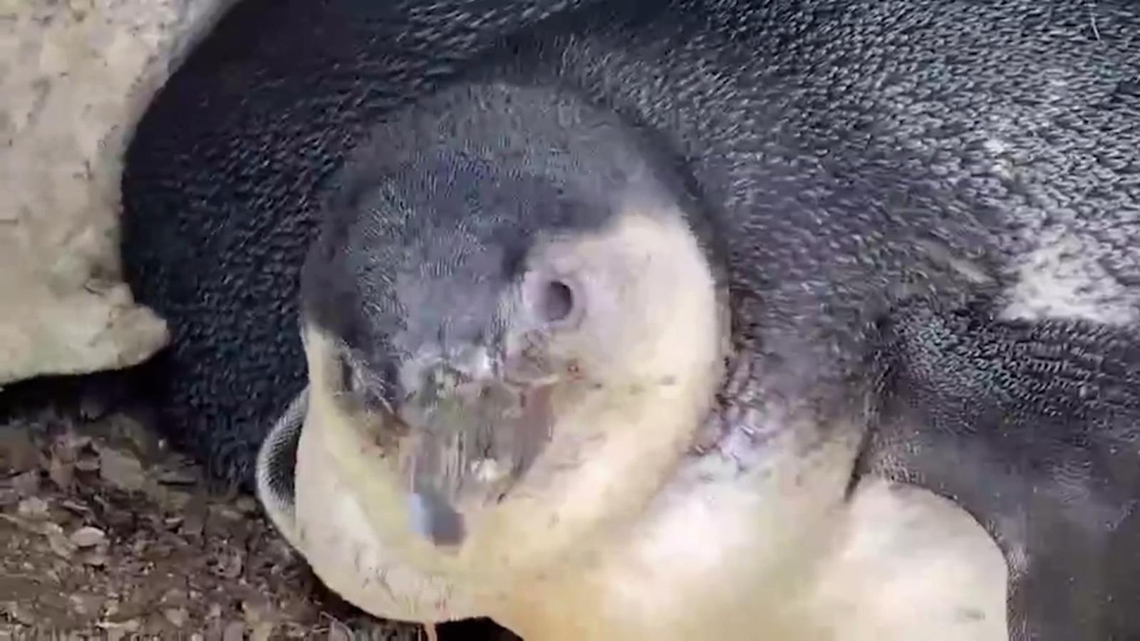 Nacen 8 polluelos de pingüino en Lima