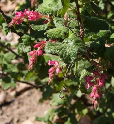 Chaparral Currant, Ribes malvaceum, Photo: Laura Camp ©Tree of Life Nursery