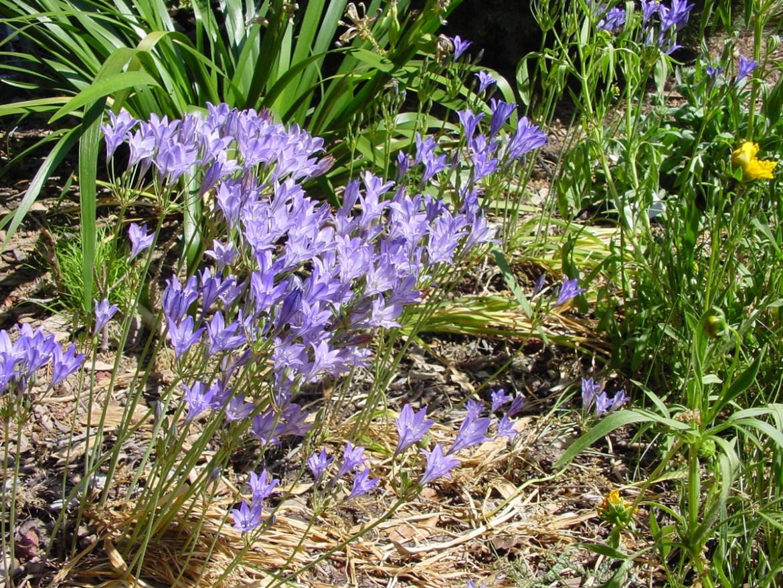 Ithuriel's Spear (Triteleia laxa) in a San Jose garden