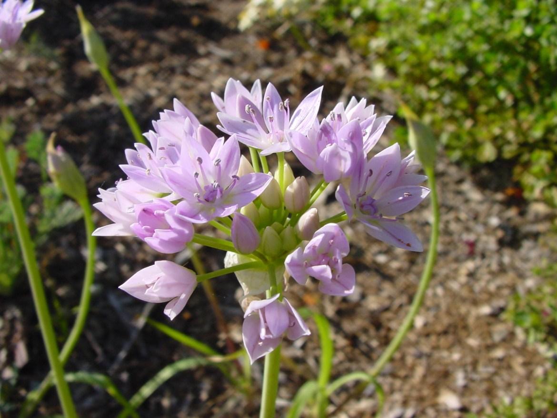 Meadow Onion (Allium unifolium)