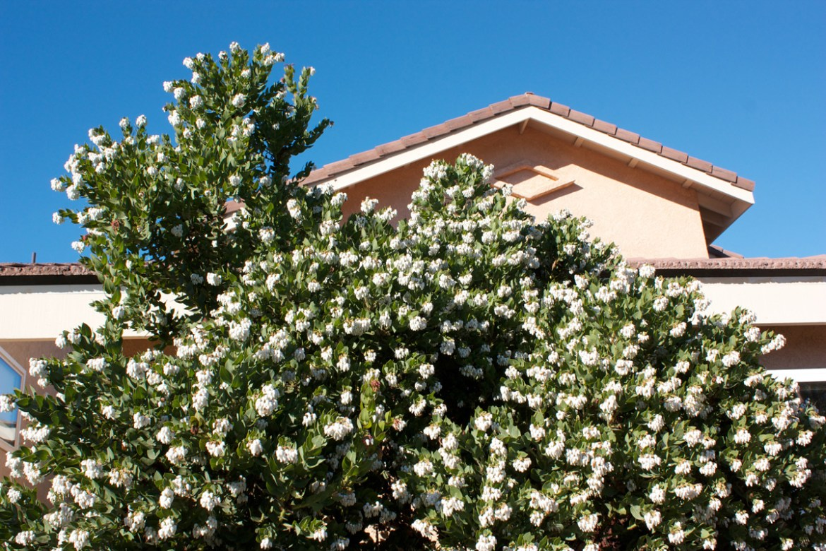 White flower clusters on Arctostaphylos refugioensis