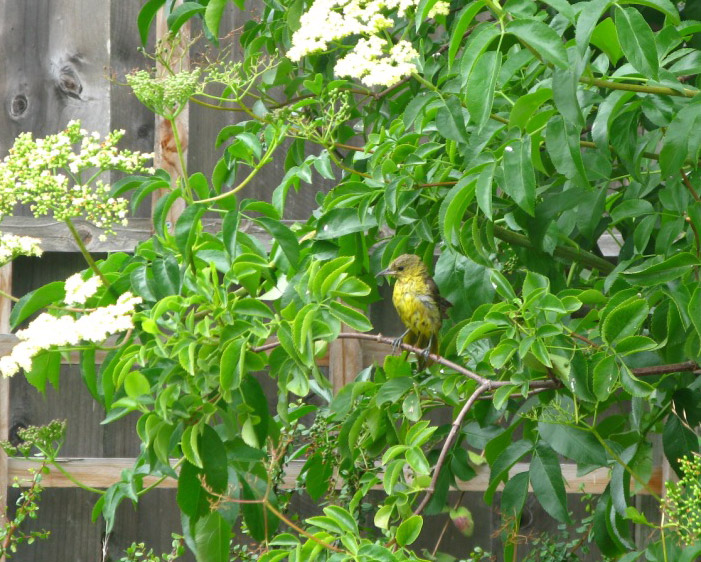 Female Hooded Oriole on Elderberry shrub.