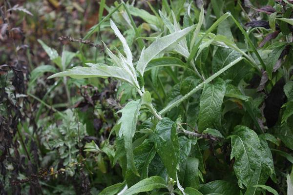 California Mugwort, Artemisia douglasiana