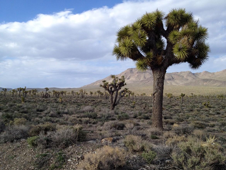 Joshua trees in Inyo County. Credit Greg Suba.