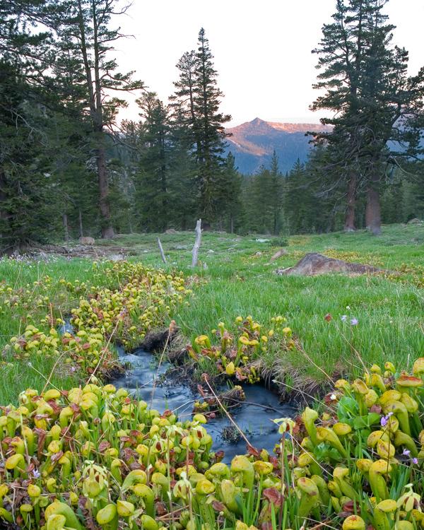 Klamath Mountains darlingtonia.