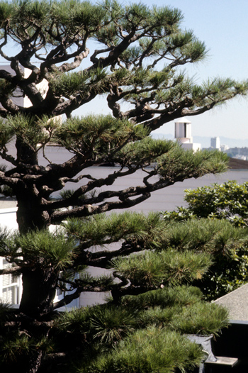 P. radiata (Monterey Pine) photo by Ted Kipping.