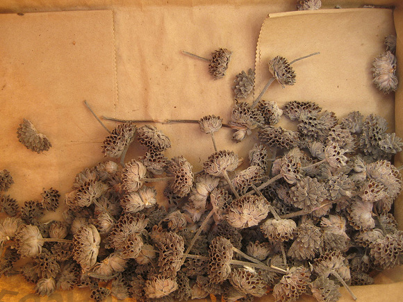 Seedheads stripped from stalk and placed in bag.