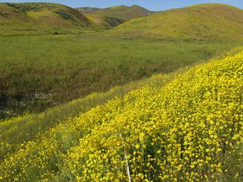 Monolopia lanceolata adorn the hills