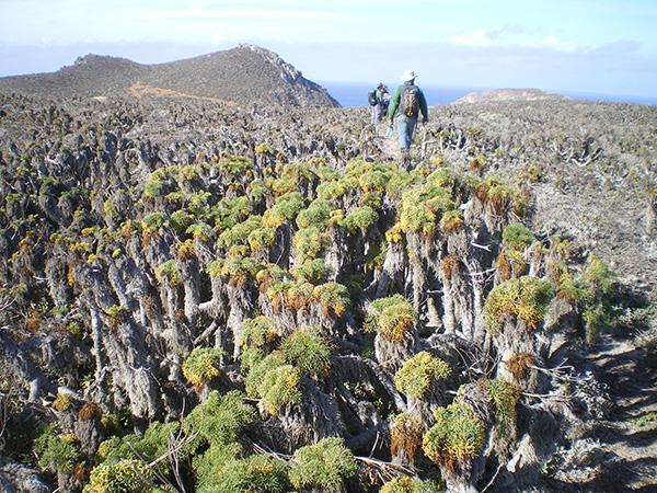 Coreopsis gigantea on San Miguel Island in 2014. Kendra Sikes