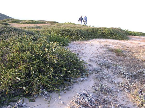 Adenostoma fasciculatum var. prostratum on Santa Rosa Island. Kendra Sikes