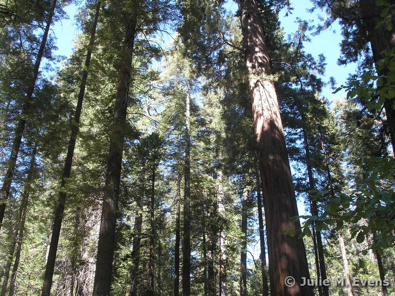 Abies concolor Pinus lambertiana