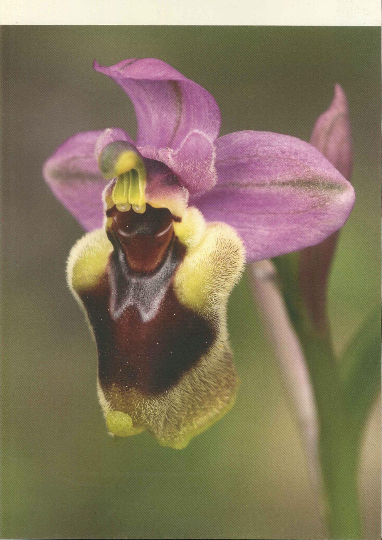 ORQUIDEA AVISPA Ophrys tenthredinifera