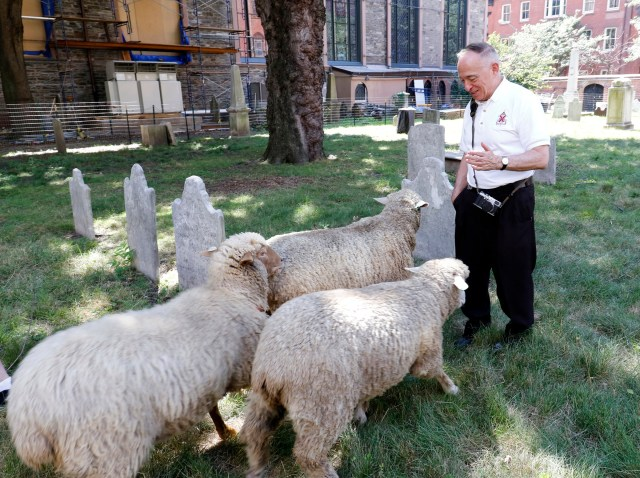 Msgr. Donald Sakano greets sheep in the cemetery at the Basilica of St. Patrick's Old Cathedral in New York City Aug. 9. (CNS photo/Gregory A. Shemitz)