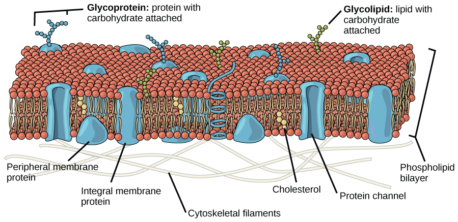 diagram of fluid mosaic model cell membrane grand cherokee radio wiring components and structure boundless biology located at http cnx org content m44416 latest figure 05 01 jpg