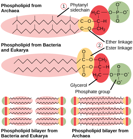 bacteria structure diagram 2001 chevy blazer engine of prokaryotes boundless biology located at http cnx org content m44605 latest figure 22 02 07f jpg