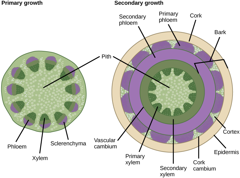 plant pith diagram cross section tattoo power supply wiring stems boundless biology license cc by attribution