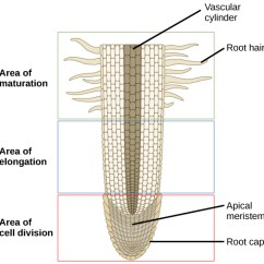 Onion Root Tip Diagram Bmw X5 E53 Abs Wiring Roots Boundless Biology License Cc By Attribution