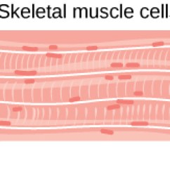Cardiac Muscle Tissue Diagram Labeled Of Coronary Arteries And Branches Animal Primary Tissues Boundless Biology Located At Http Cnx Org Content M44731 Latest Figure 33 02 12abc Jpg