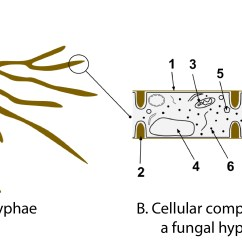 Fungus Cell Diagram Labeled Airport Er Fungi Structure Pictures To Pin On Pinterest Pinsdaddy